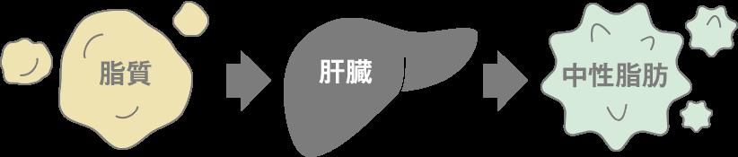 脂質→肝臓→中性脂肪